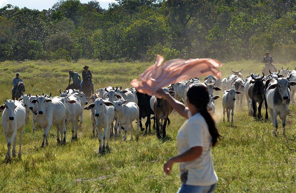 Ribeirinha acena com pano para o gado solto no Cerrado. Foto: Gilberto Alves/Especial para o Metrópoles