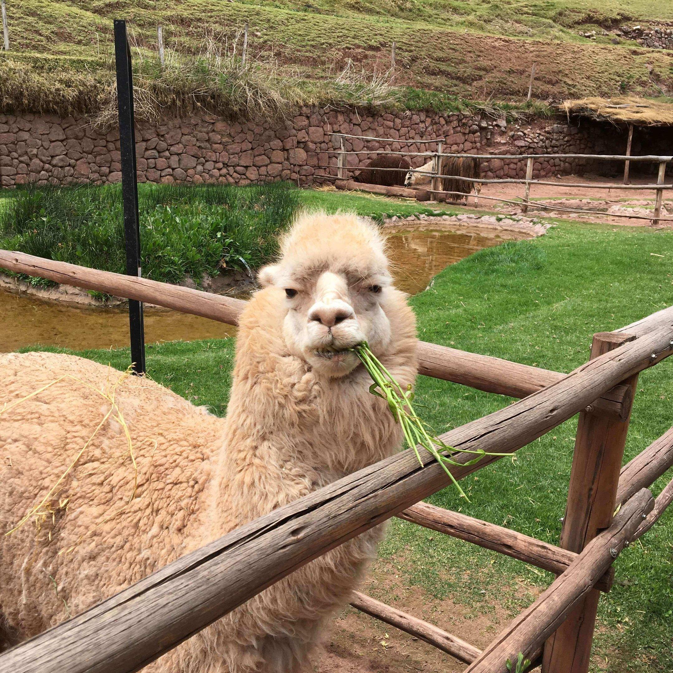 Lhamas e alpacas, símbolos do país, são alimentadas pelos turistas em locais como o Awana Kancha